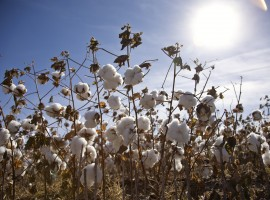 Govt gives free cotton seeds to farmers